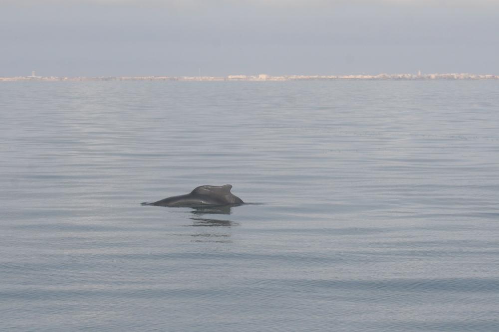 Delfin atlantico jorobado